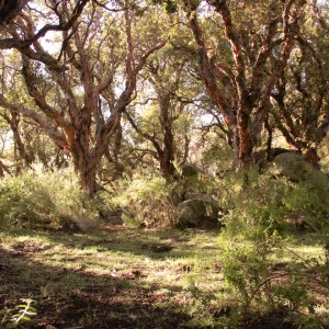 Tabaquillo forest small